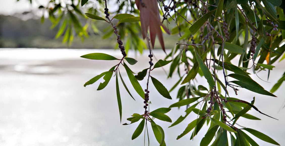 L'Huile Essentielle d'Arbre à Thé ou Tea Tree : l'antibiotique naturel des huiles essentielles