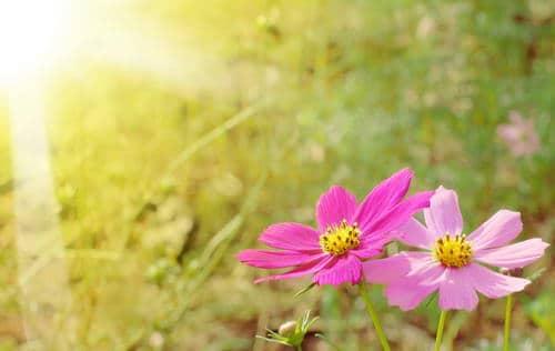 Ce sont de subtils extraits liquides obtenus grâce à la cueillette de fleurs sauvages pour la plupart, au pic de leur floraison, généralement par solarisation